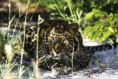 The Cape Leopard Trust